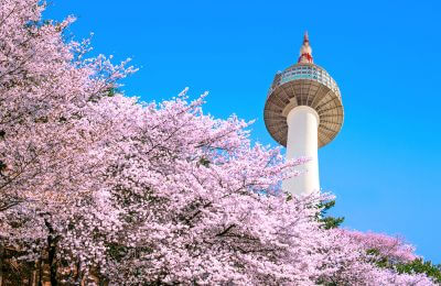 Seoul tower and pink cherry Blossom, Sakura season in spring,Seoul in South Korea